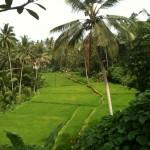 Bali_2011_Lush Rice paddies